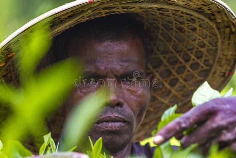 O trabalhador qualificado entrega a escolha do chá verde as folhas cruas em Moulovibazar, Bangladesh imagens de stock royalty free