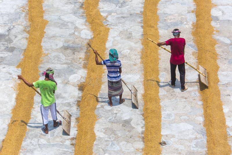 O trabalhador tradicional do moinho de arroz vira a almofada para secar imagens de stock