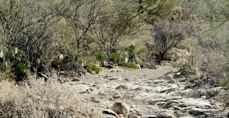 O trajeto rochoso através do deserto do Arizona esfrega com os cactos de pera espinhosa imagem de stock royalty free