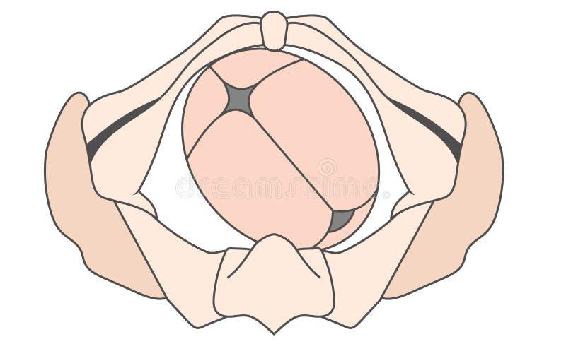 O traseiro deixado do Occiput PODA o bebê pelve da posição Fetal e direito do ROP ilustração stock