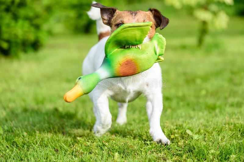O treinamento do cão de caça para buscar o jogo com pato do brinquedo mostra os dentes imagem de stock