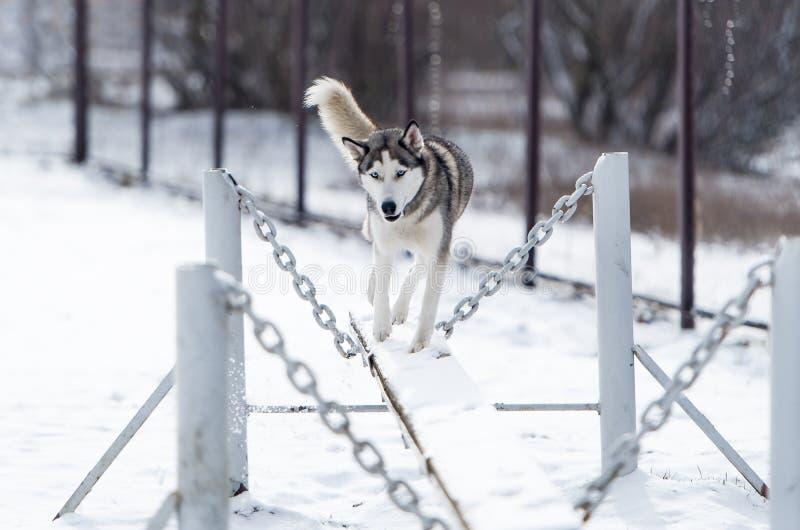 O treinamento do cão de puxar trenós Siberian e da obediência do cão no inverno imagem de stock