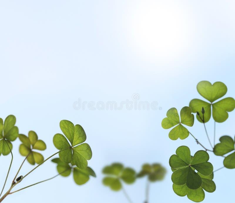 O trevo novo sae retroiluminado pela luz solar no jardim fotos de stock royalty free