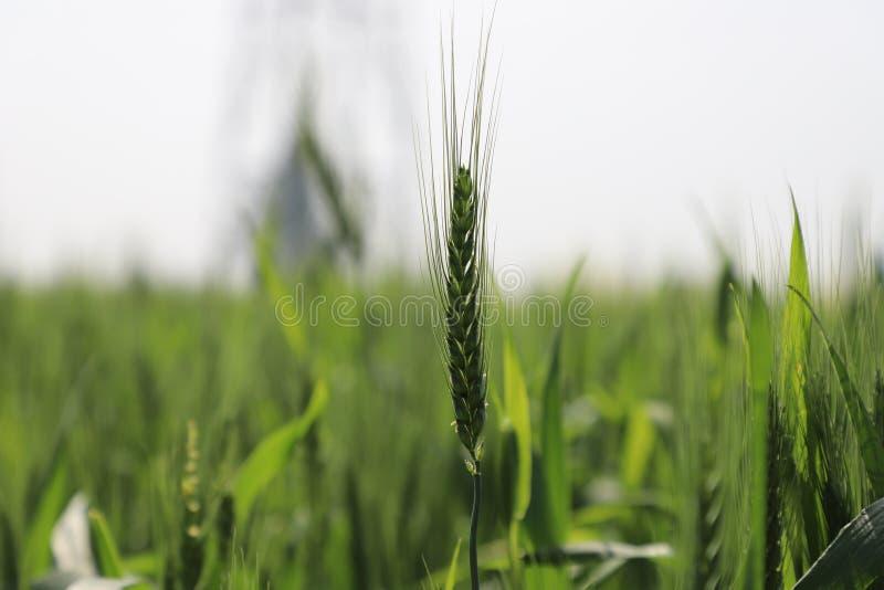 O trigo cultiva a fotografia imagens de stock royalty free