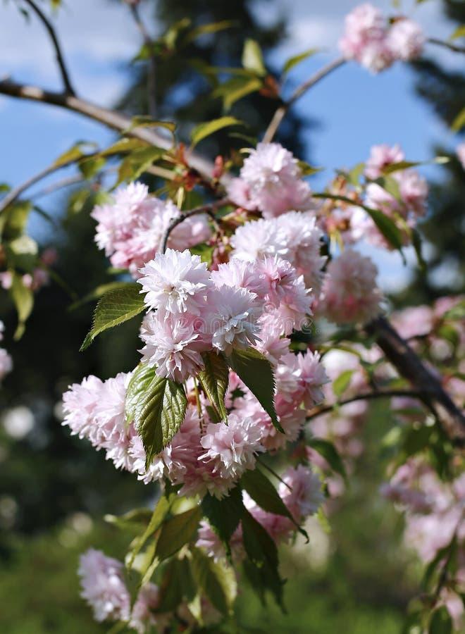 O triloba do Prunus do arbusto, flores cor-de-rosa de florescência foto de stock royalty free