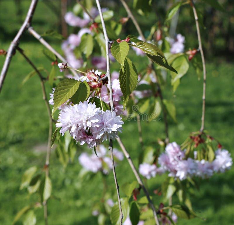 O triloba do Prunus do arbusto, flores cor-de-rosa de florescência foto de stock
