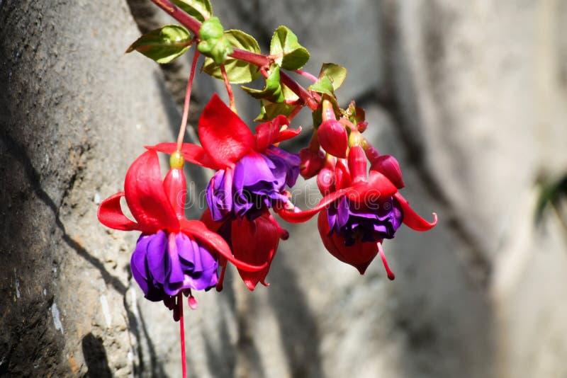 O triphylla fúcsia, foi descoberto na ilha das Caraíbas de Hispaniola imagens de stock