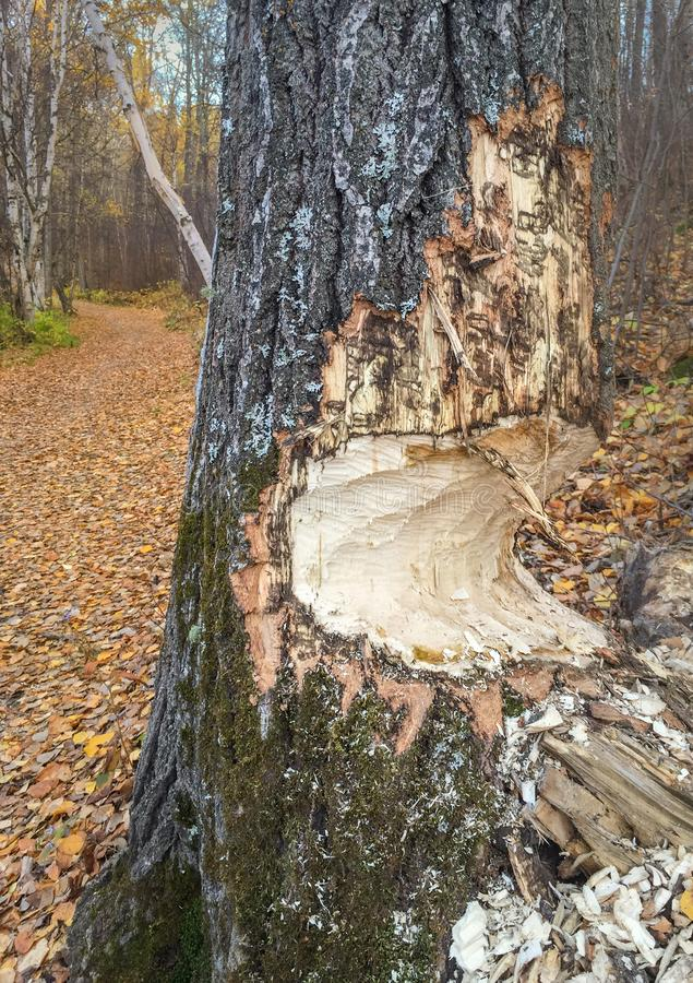 O tronco de árvore mastigou parcialmente completamente por castores, Alberta, Canadá imagem de stock