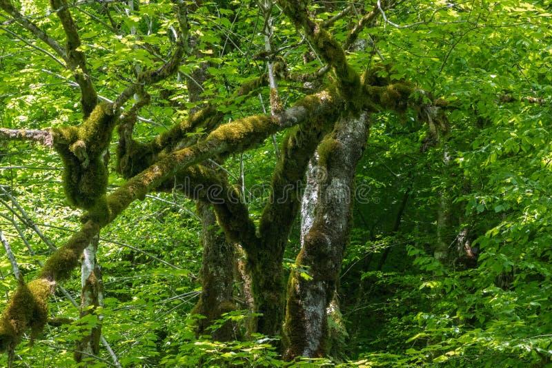 O tronco de uma árvore cresceu o musgo foto de stock