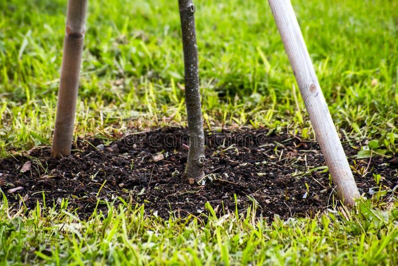 O tronco de uma árvore nova plantada imagens de stock