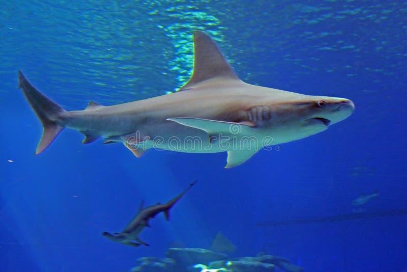 O tubarão azul cinzento e o tubarão martelam sob a água no mar Vista da parte inferior fotografia de stock royalty free