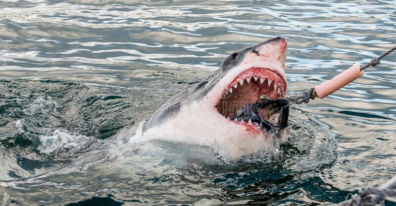 O tubarão com boca aberta sai da água na superfície e agarra o isco foto de stock