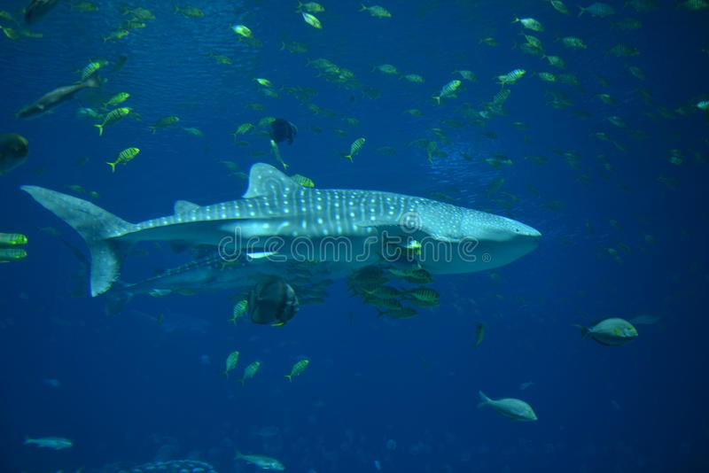 O tubarão de baleia fotos de stock