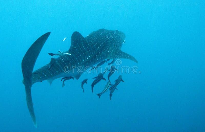 O tubarão de baleia nada afastado fotografia de stock