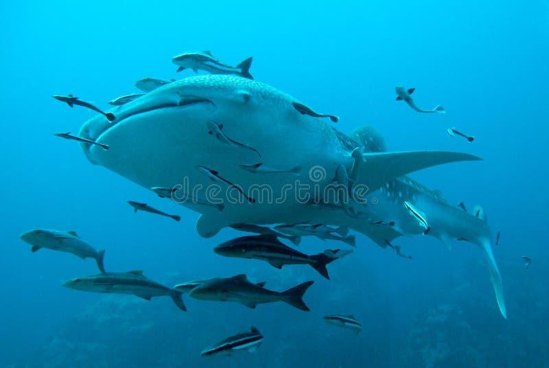 O tubarão de baleia nada sobre foto de stock