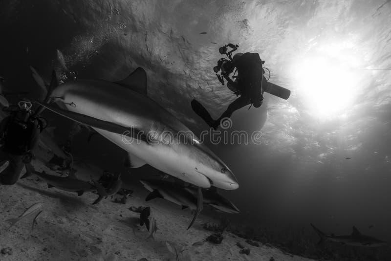 O tubarão do recife e um mergulhador de mergulhador fotografam a silhueta no preto e imagem de stock