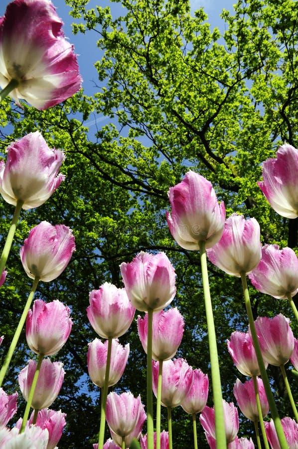 O Tulip roxo cresce acima fotos de stock