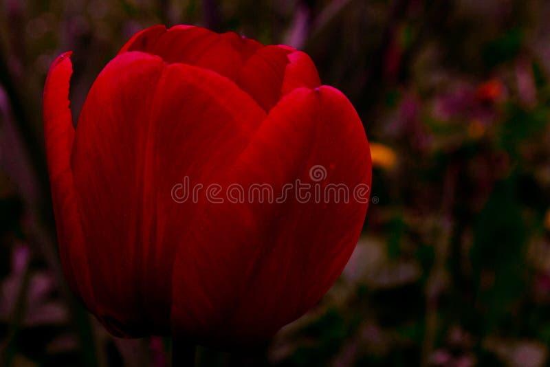 O Tulip vermelho imagem de stock