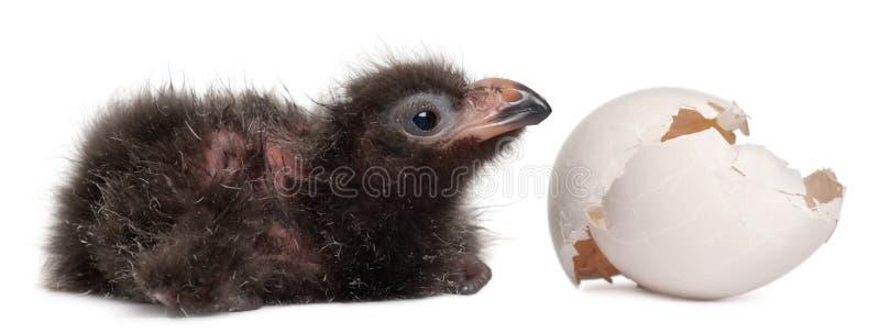 O Turaco de Fischer com ovo chocado, fischeri de Tauraco, 2 dias velho imagens de stock royalty free