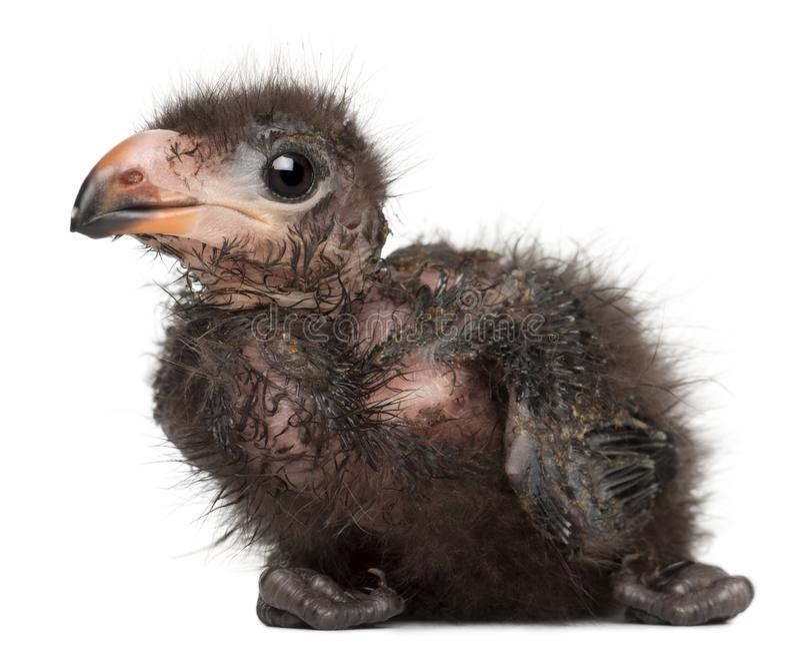 O Turaco de Fischer, fischeri de Tauraco, 1 semanas de idade fotos de stock