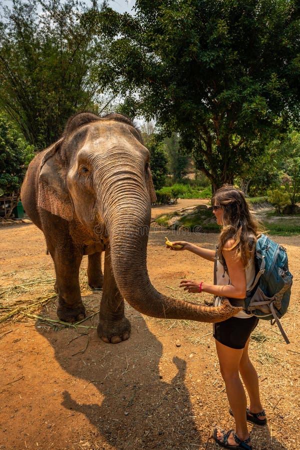 O turista da menina alimenta bananas ao elefante tailândia imagem de stock royalty free