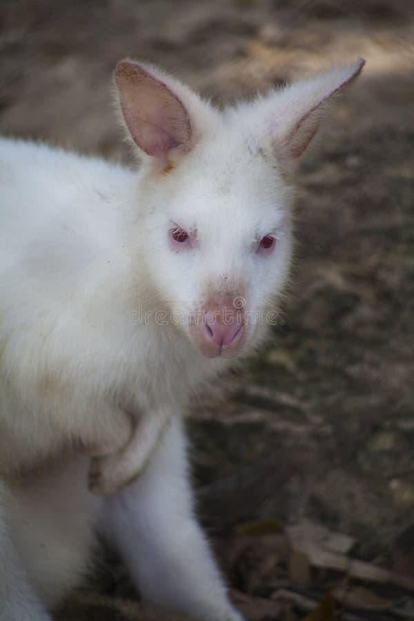 O ualabi de Bennett branco, Albino Wallaby/Albino Wallabies imagem de stock