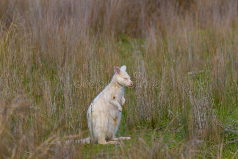 O ualabi de bennett branco ou o ualabi de pescoço encarnado com seus olhos fecharam-se imagens de stock royalty free