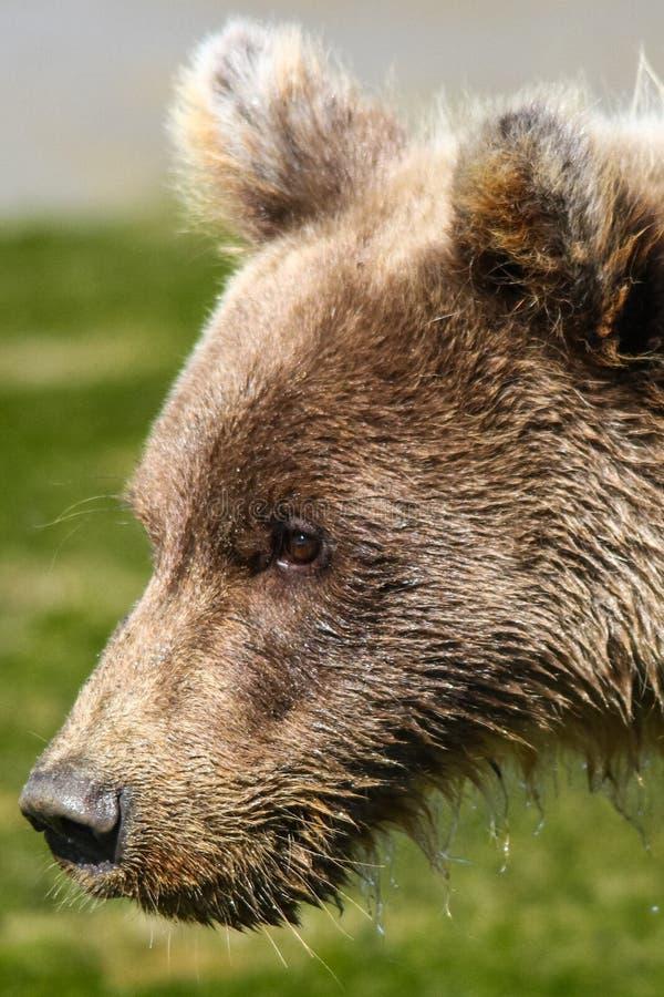 O urso Cub de Brown do bebê de Alaska perfila o retrato imagens de stock