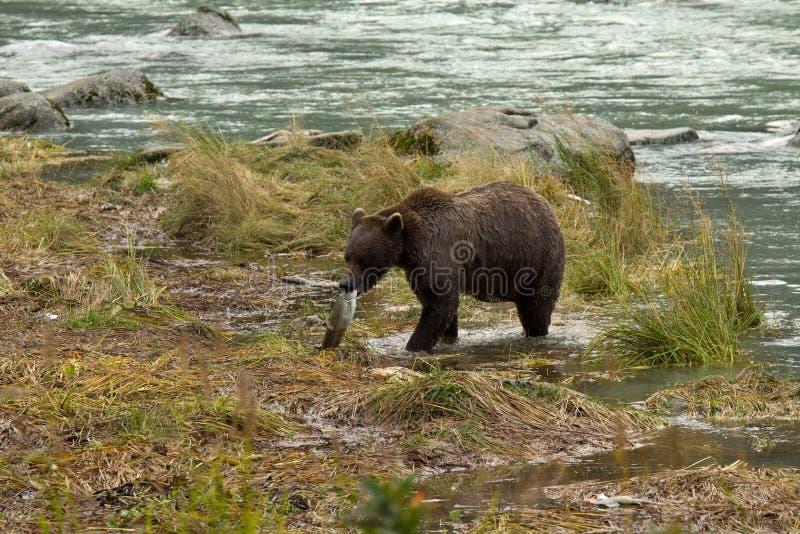 O urso de Brown do Alasca transporta a captura fresca dos salmões à costa Rio de Chilkoot fotos de stock royalty free