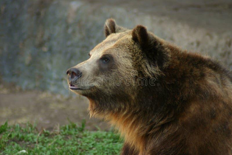 O urso do urso foto de stock royalty free