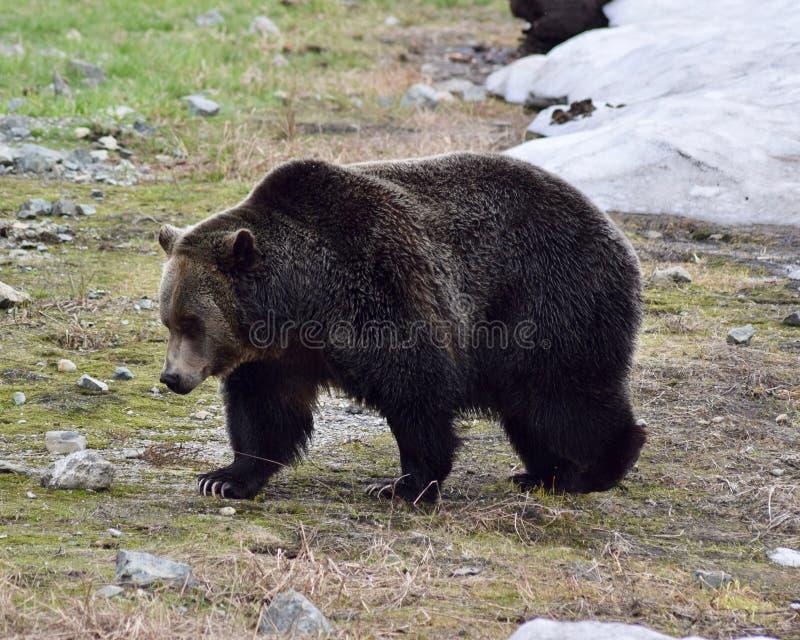 O urso em Vancôver, Canadá foto de stock