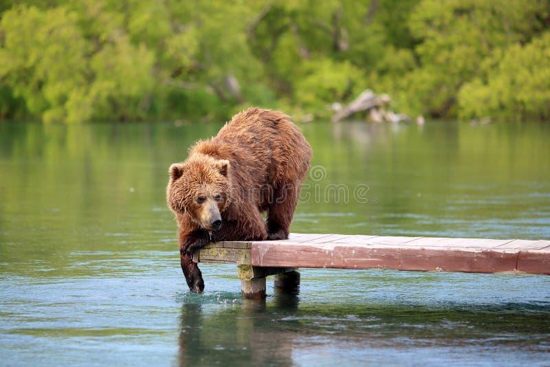 O urso está pescando no lago fotos de stock