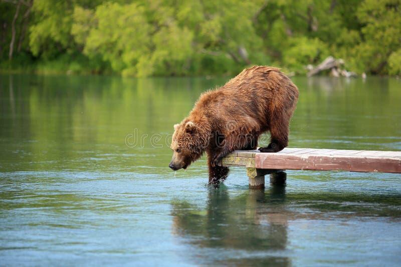 O urso está pescando no lago imagens de stock