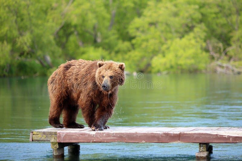O urso está pescando no lago imagem de stock royalty free