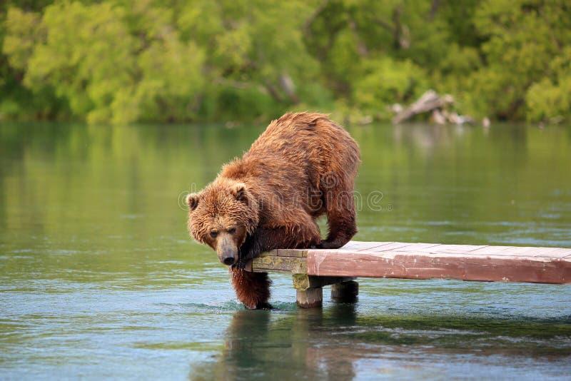 O urso está pescando no lago imagem de stock