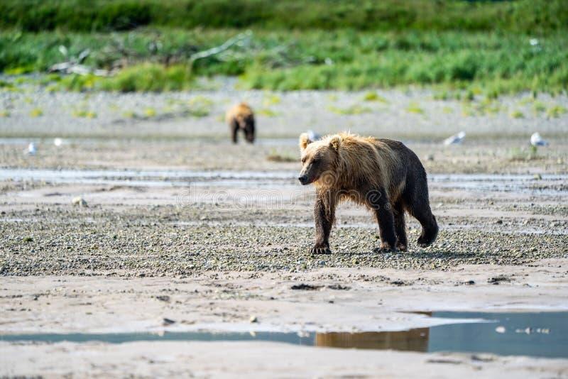 O urso litoral do Alasca bonito do urso de Brown vagueia em The Creek - o parque nacional de Katmai imagens de stock