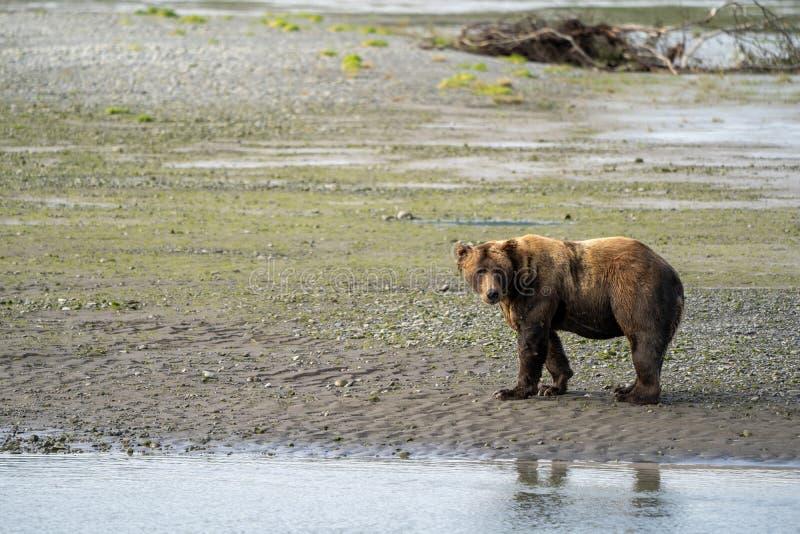 O urso litoral do Alasca do urso marrom anda ao longo da pesca da praia para os peixes salmon fotos de stock