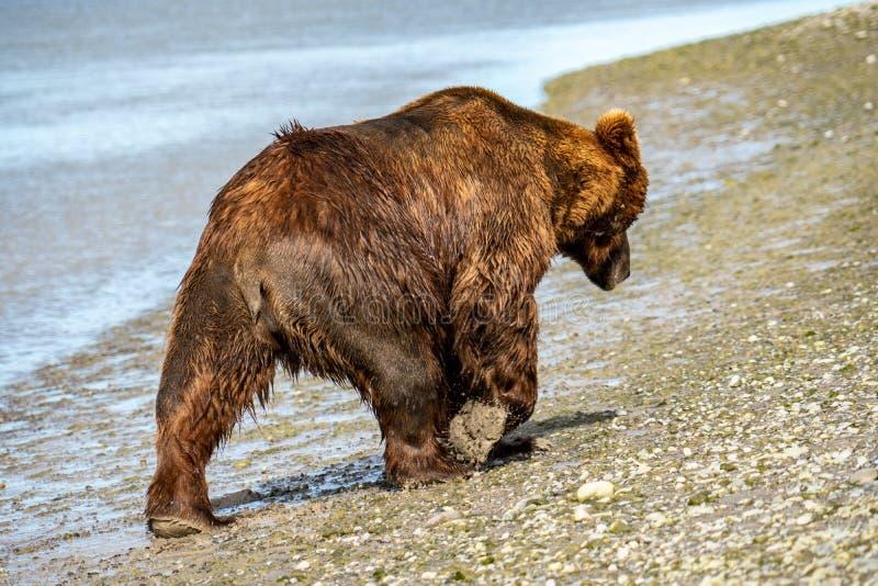 O urso litoral do Alasca do urso marrom anda ao longo da praia no parque nacional de Katmai foto de stock
