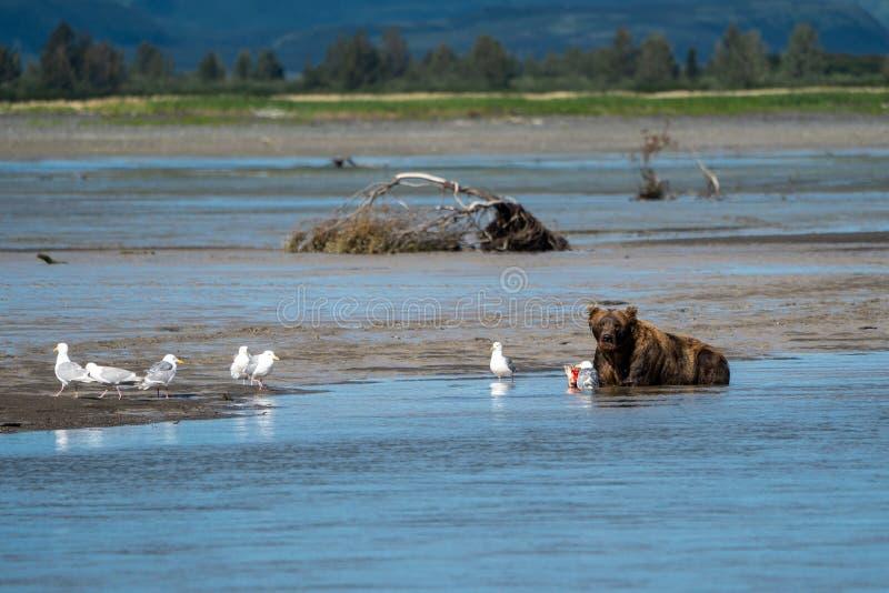 O urso litoral do Alasca do urso marrom come um peixe salmon ele caugh foto de stock