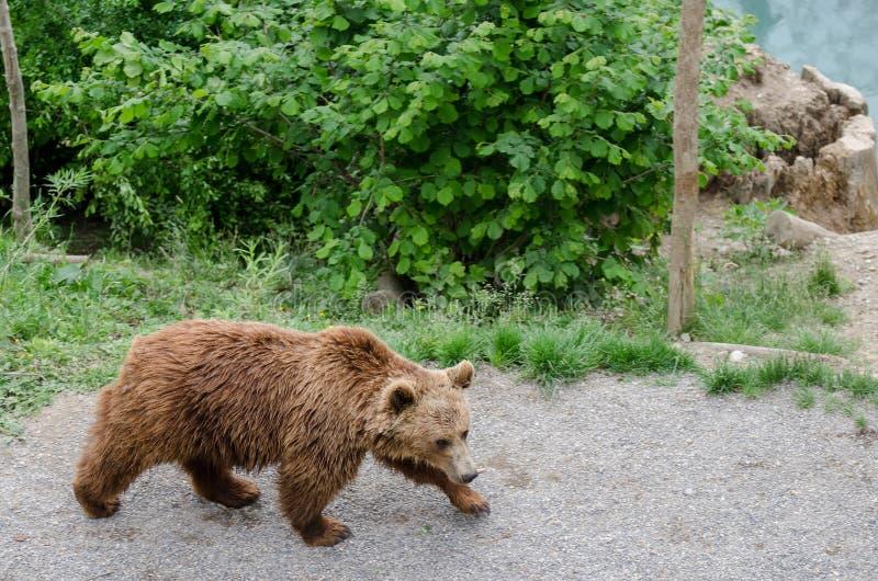 O urso marrom (arctos do Ursus) em um jardim zoológico de Berna imagens de stock royalty free