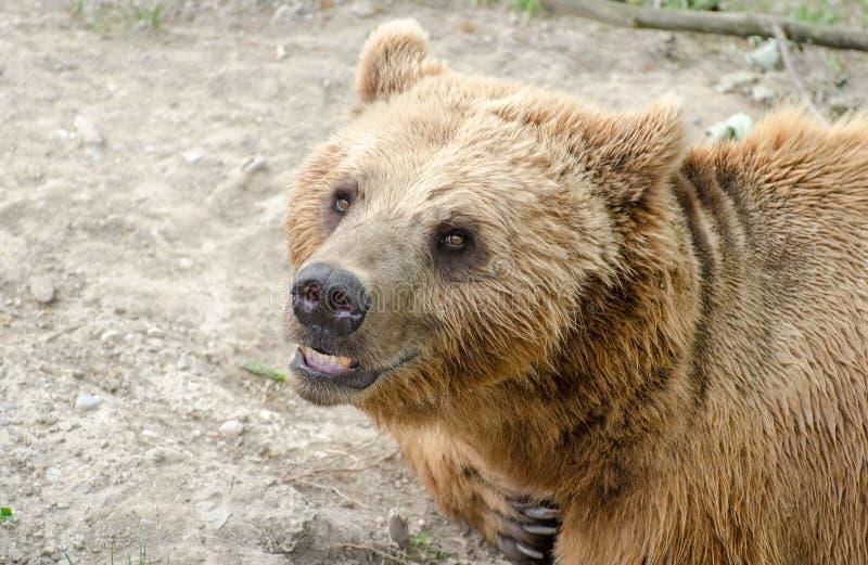 O urso marrom (arctos do Ursus) em um jardim zoológico de Berna fotografia de stock royalty free