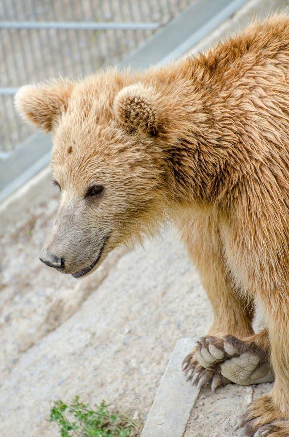 O urso marrom (arctos do Ursus) em um jardim zoológico de Berna fotos de stock royalty free