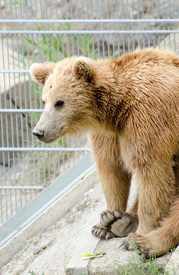 O urso marrom (arctos do Ursus) em um jardim zoológico de Berna imagem de stock royalty free