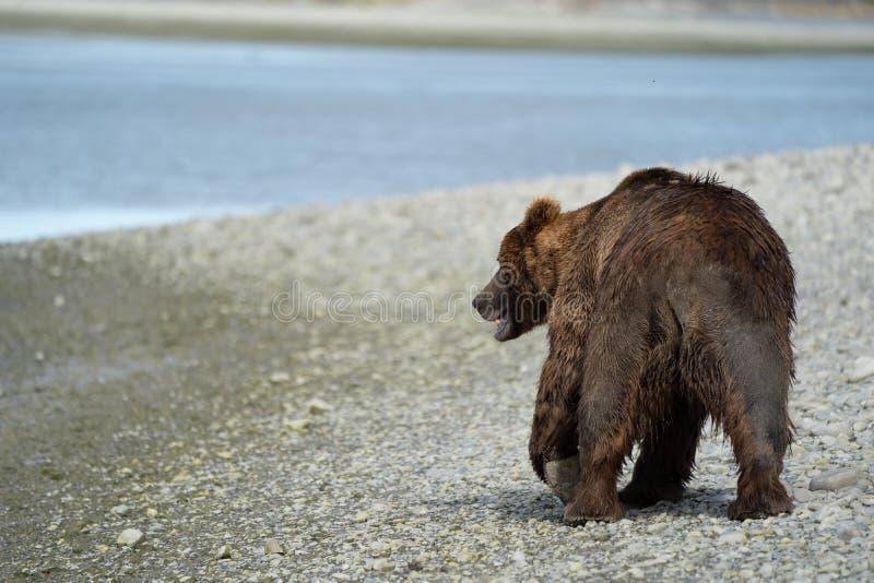 O urso marrom do urso litoral de Alaska vagueia ao longo do rio, looki foto de stock royalty free