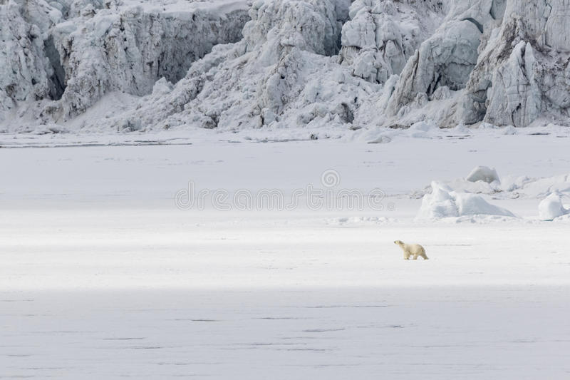 O urso polar corre ao longo de uma banquisa de gelo ao longo de uma geleira, Svalbard, cuspe foto de stock