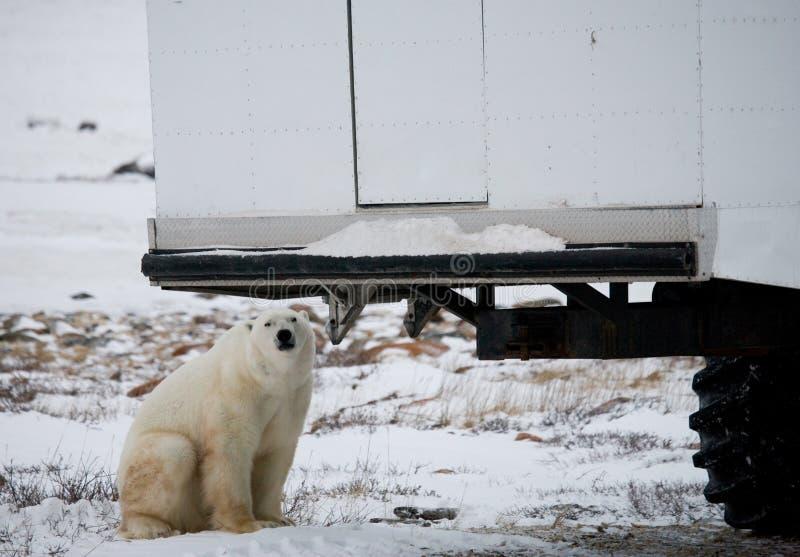 O urso polar veio muito perto a um carro especial para o safari ártico canadá Parque nacional de Churchill fotos de stock royalty free