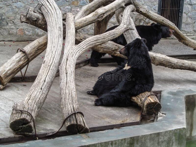 O urso preto asiático dorme sentando em um início de uma sessão o jardim zoológico Kharkiv de Kharkov, Ucrânia foto de stock royalty free