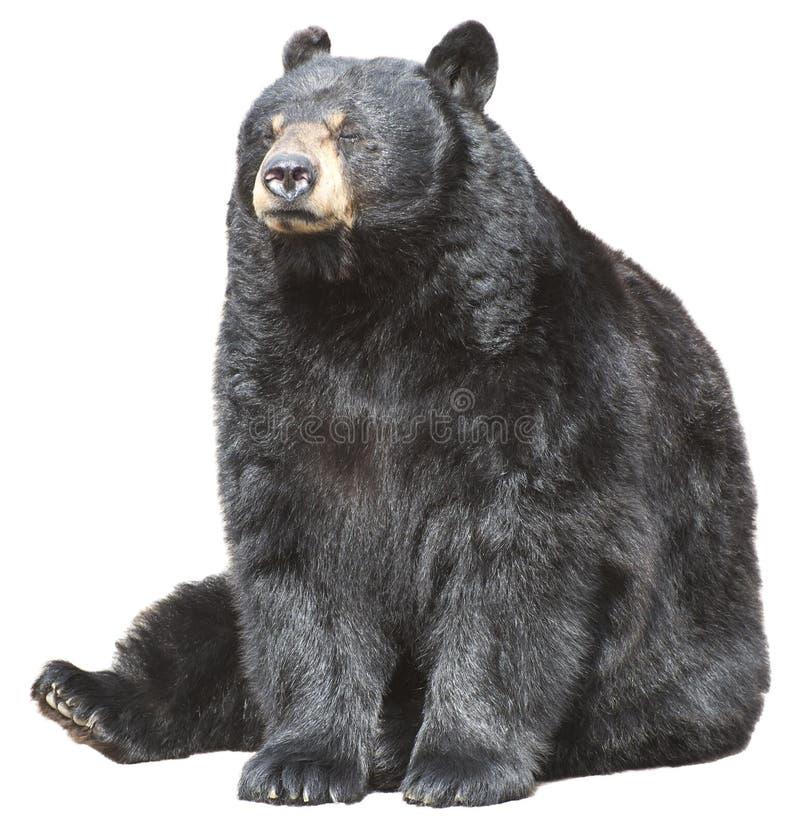 O Urso Preto Norte-americano Senta-se, Dormir Isolado Fotografia de Stock Royalty Free