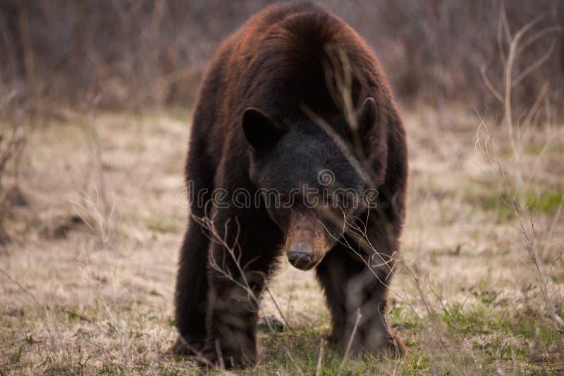 O urso preto pasta olhares fixos na câmera imagem de stock