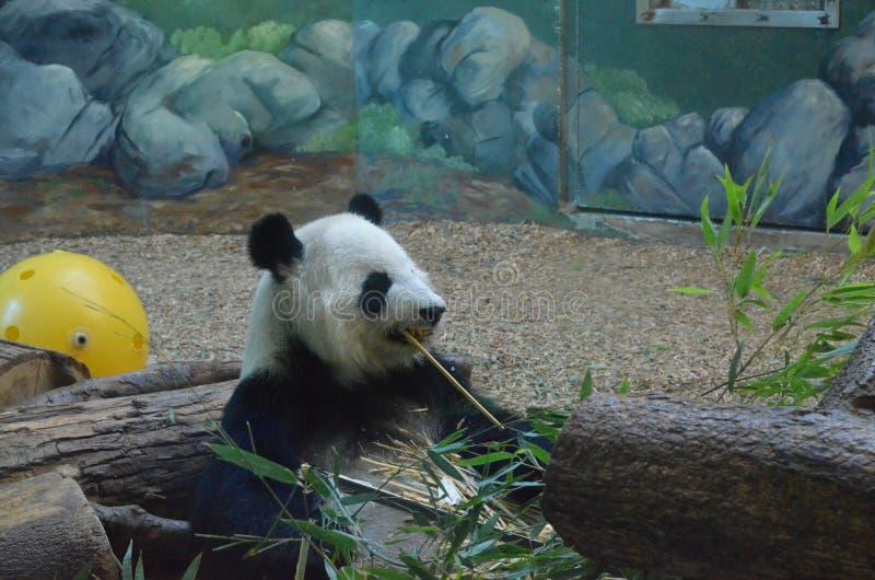 O urso que come o bambu imagem de stock